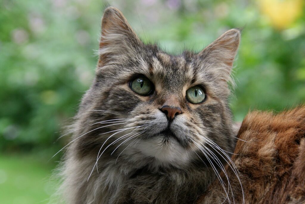 maine coon 3347769 1920