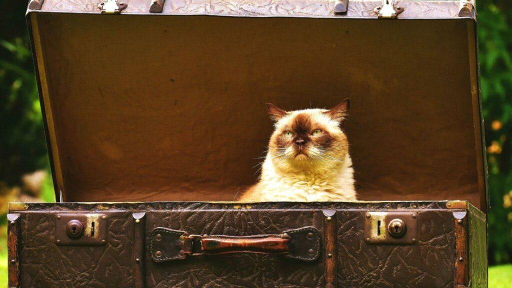 cat in a treasure chest