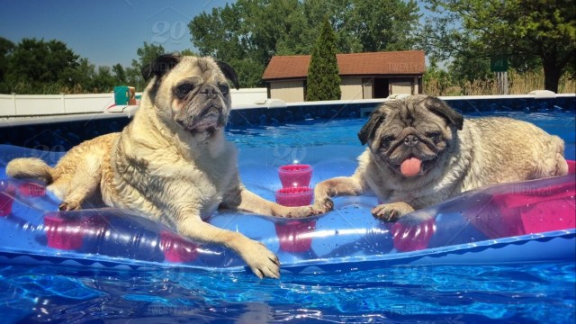 stock photo dog summer swim relax float dogs adorable pugs pool party e5f855ba 2fcf 4e3f a4c2 93cc896ab405